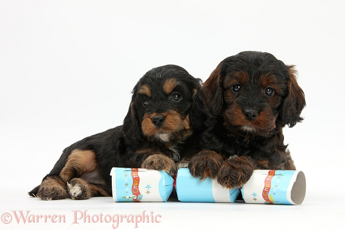 Cockapoo pups with paws over a Christmas cracker, white background