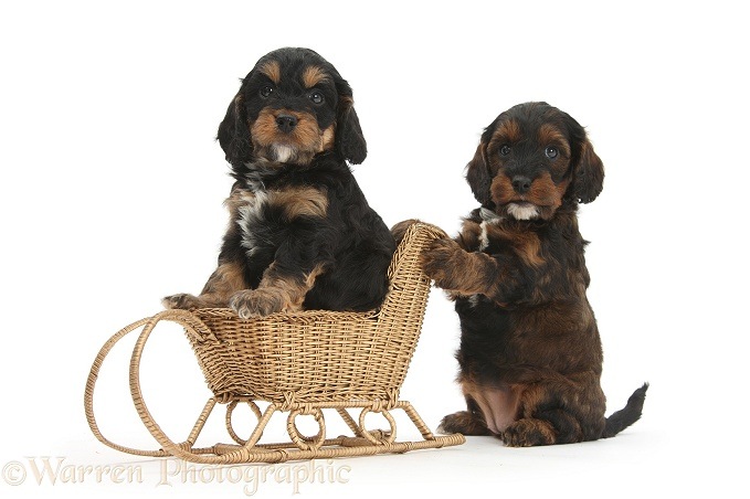 Cockapoo pups playing with a wicker toy sledge, white background