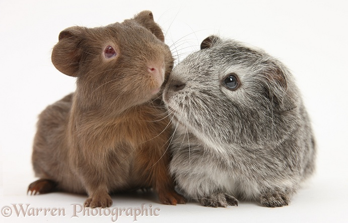 Silver and chocolate baby Guinea pigs, white background