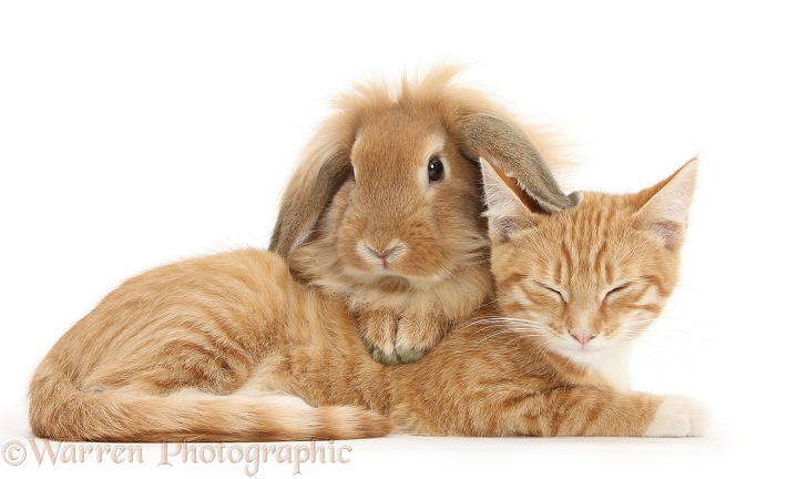 Ginger kitten, Tom, 3 months old, lying with Sandy Lionhead rabbit, white background