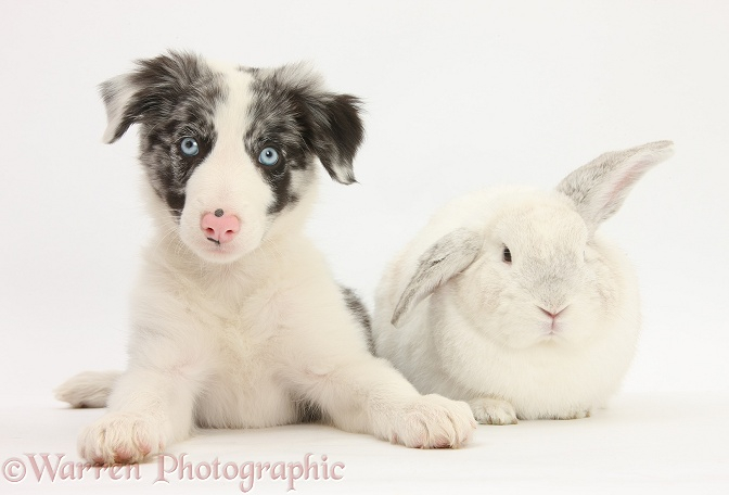 Blue merle Border Collie puppy, Reef, with white rabbit, white background