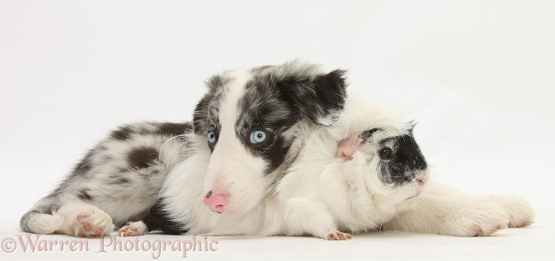 Blue merle Border Collie puppy, Reef, with black-and-white rough-haired Guinea pig