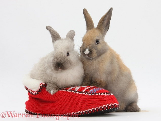 Young rabbits in a knitted slipper, white background