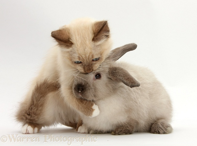 Ragdoll-cross kitten and young colourpoint rabbit, white background