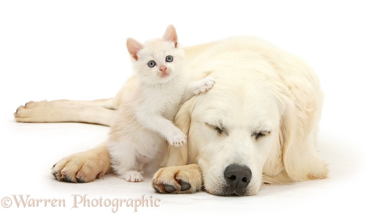 Sleeping Golden Retriever, Daisy, 9 months old, with cream kitten, white background