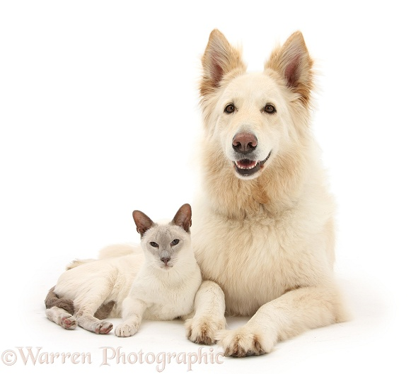 White German Shepherd Dog, Bronya, 5 years old, and Blue point Siamese cat, Jacob, 9 years old, white background