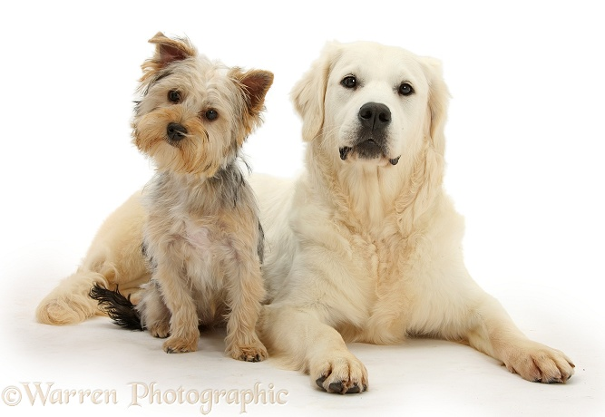 Yorkshire Terrier, Evie, 6 months old, with Golden Retriever, Daisy, 9 months old, white background