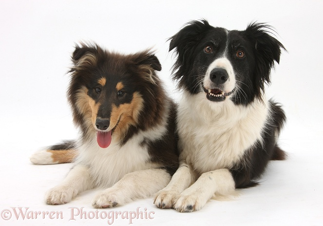 Rough Collie, Flynn, 5 months old, with Border Collie, Phoebe, white background