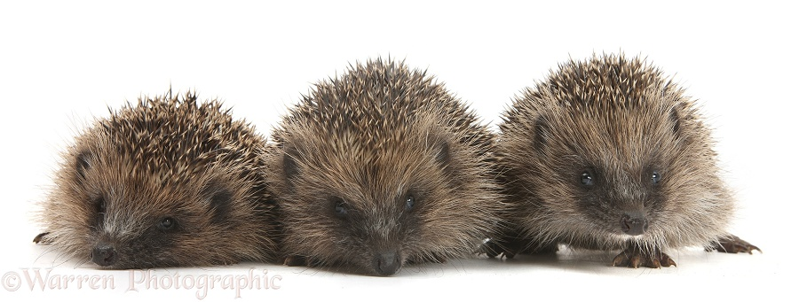 Three young Hedgehogs (Erinaceus europaeus), white background