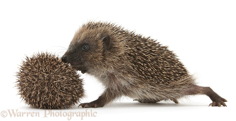 Young Hedgehog (Erinaceus europaeus) approaches a smaller brother who is afraid and curls up, white background