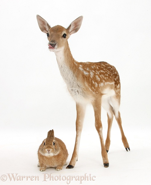 Fallow Deer fawn and Sandy rabbit