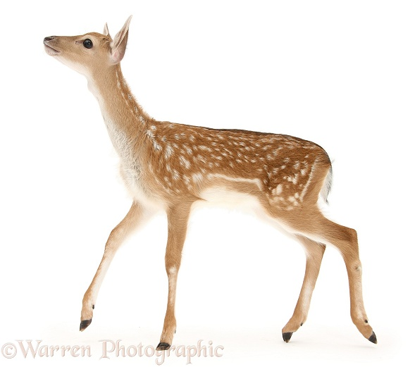 Fallow Deer (Dama dama) fawn, white background