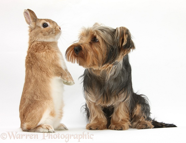 Yorkshire Terrier, Billie, with Netherland-cross rabbit, Peter, white background