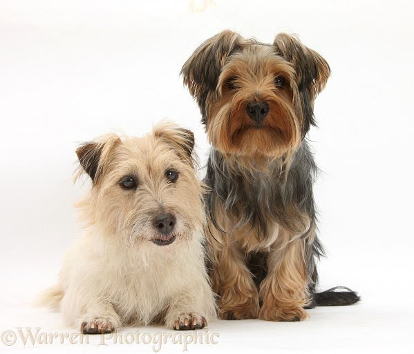 Jack Russell Terrier, Daisy, and Yorkshire Terrier, Billie, white background