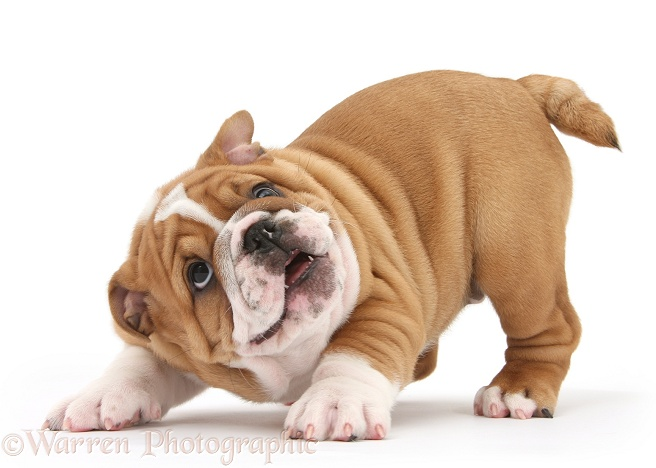 Playful Bulldog pup, 8 weeks old, in play-bow, white background