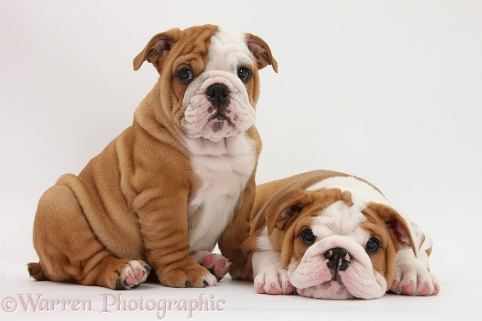 Two Bulldog pups, 8 weeks old, white background