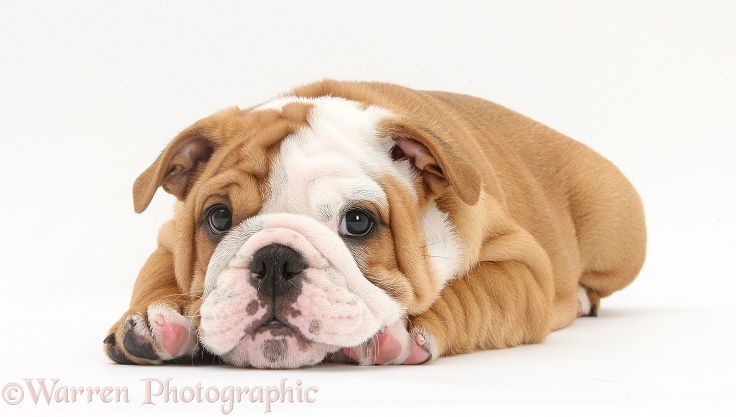 Bulldog pup, 8 weeks old, lying with chin on paws, white background