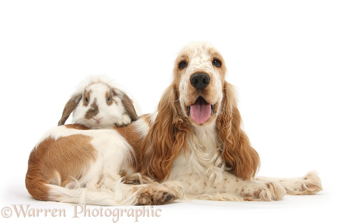 Orange Cocker Spaniel, Arthur, 1 year old, with brown-and-white Lop rabbit, white background