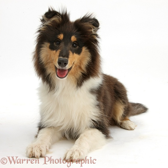 Rough Collie, Flynn, 5 months old, white background