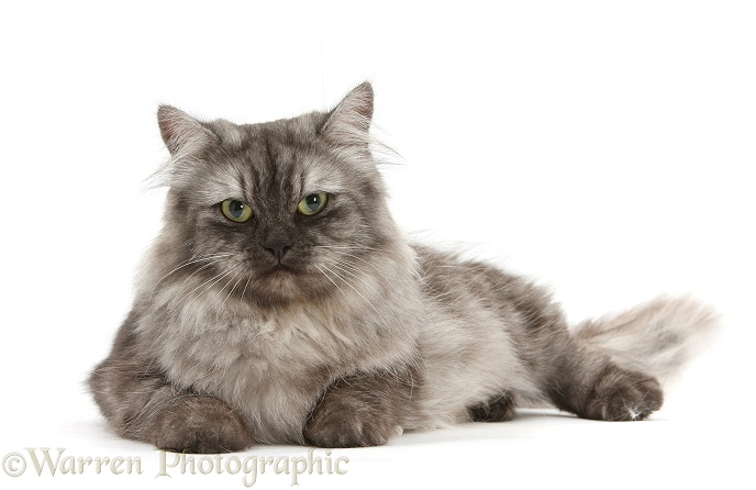 Persian x Birman female cat, Forrest, 2 years old, white background
