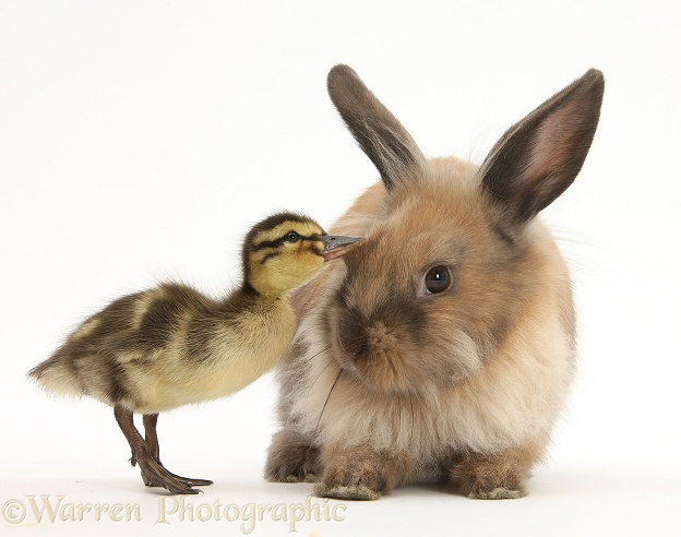 Young Lionhead-Lop rabbit and Mallard duckling, white background