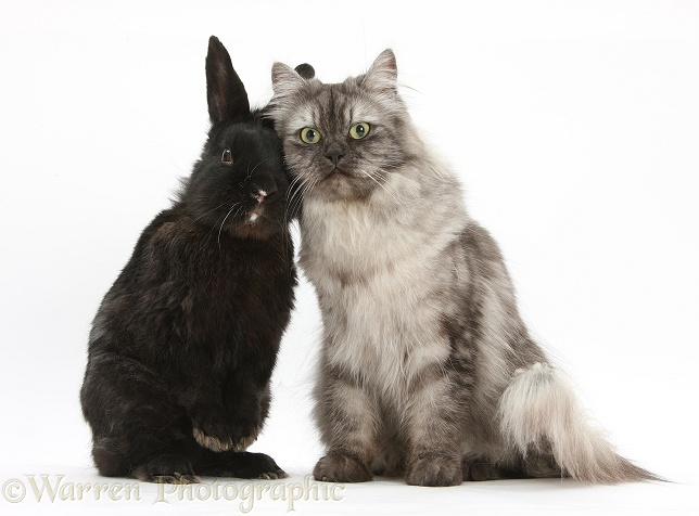 Persian x Birman female cat, Forrest, 2 years old, with black rabbit, white background