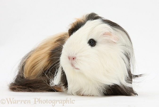 Long-haired Guinea pig, white background