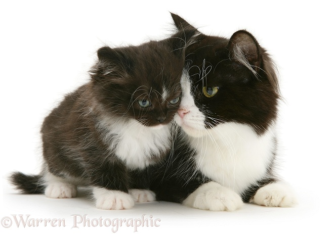 Black-and-white Persian-cross cat, Flora, and her kitten, white background