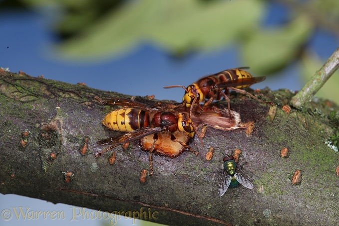 European Hornet (Vespa crabro) workers feeding on Cotoneaster sap from a wound that they have created by chewing away the bark.  Europe