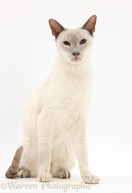 Blue point Siamese cat, Jacob, 9 years old, white background