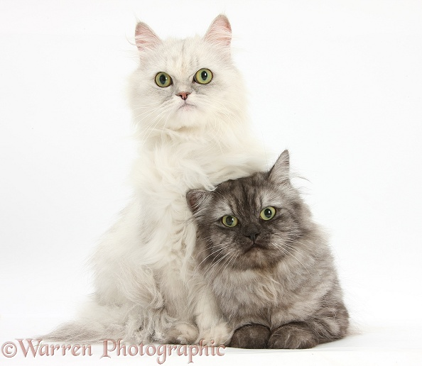 Chinchilla Persian female cat, Spyder, with Persian x Birman female cat, Forrest, 2 years old, white background