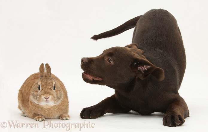 Chocolate Labrador pup, Inca, in play-bow at Netherland-cross rabbit, Peter, white background