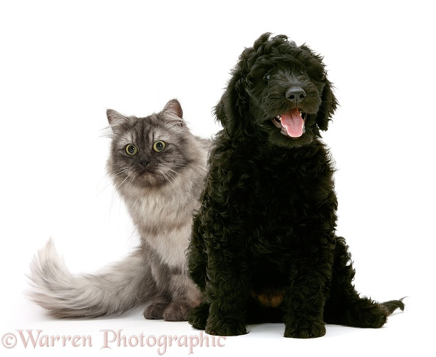 Persian x Birman female cat, Forrest, 2 years old, with black Labradoodle, white background