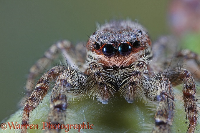 Jumping Spider (Marpissa mucosa) female.  Europe including Britain