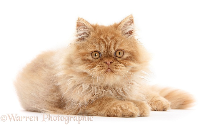 Ginger Persian male kitten, Jeffrey, 15 weeks old, white background