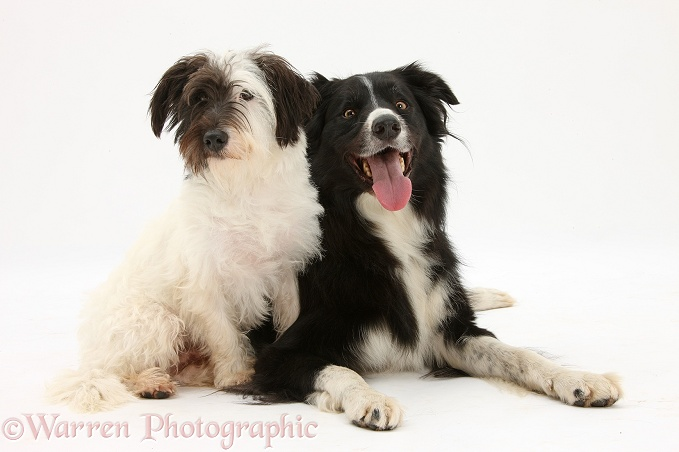 West Highland White Terrier x Jack Russell dog, Dim, 1 year old, with black-and-white Border Collie dog, Flyn, 5 years old, white background