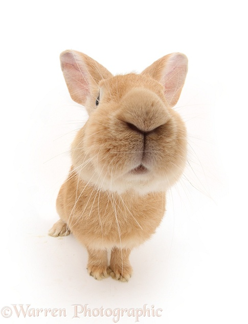 Flemish Giant Rabbit, Toffee, white background
