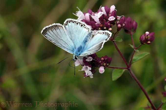 Chalkhill Blue Butterfly (Lysandra coridon) male on Marjoram (Origanum vulgare).  Europe including Britain