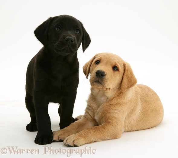 Black Labrador pup with Yellow Labrador pup, white background