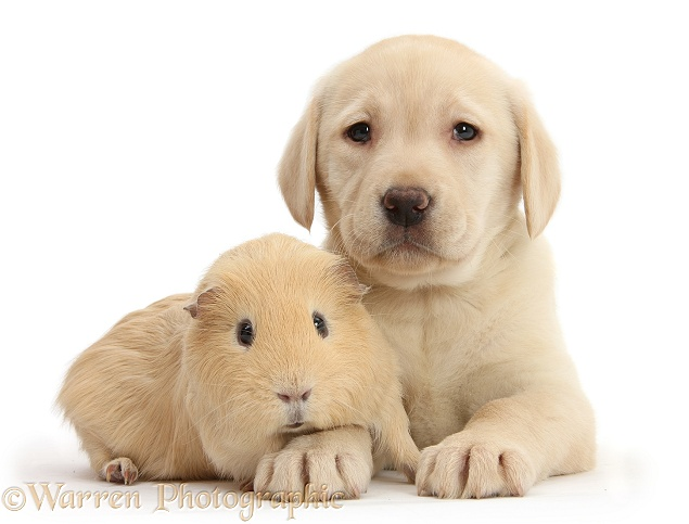 Yellow Labrador Retriever pup, 7 weeks old, and yellow Guinea pig, white background