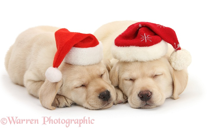 Sleeping Yellow Labrador Retriever pups, 8 weeks old, wearing Father Christmas hats, white background