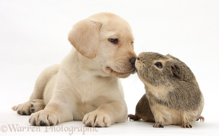 Yellow Labrador Retriever pup, 8 weeks old, and yellow-agouti Guinea pig, white background
