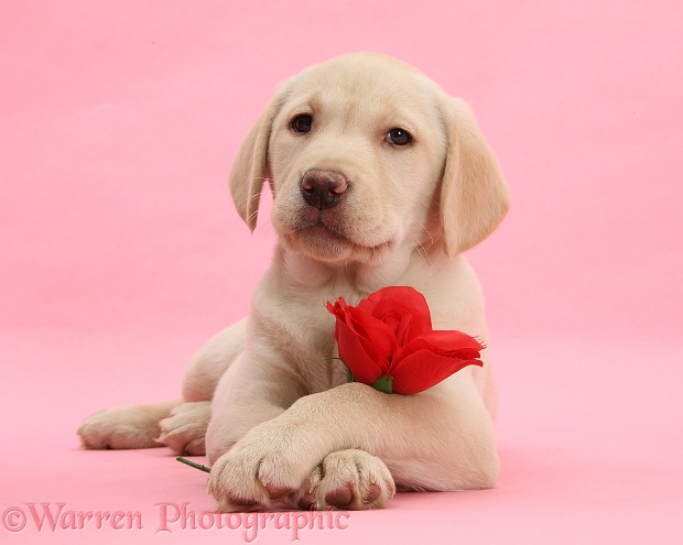 Yellow Labrador Retriever bitch pup, 10 weeks old, with a red rose and crossed paws