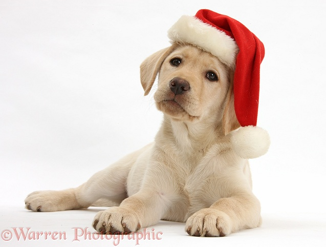 Yellow Labrador Retriever bitch pup, 10 weeks old, wearing a Father Christmas hat, white background
