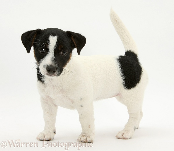 Jack Russell Terrier pup, Rubie, 9 weeks old, standing, white background