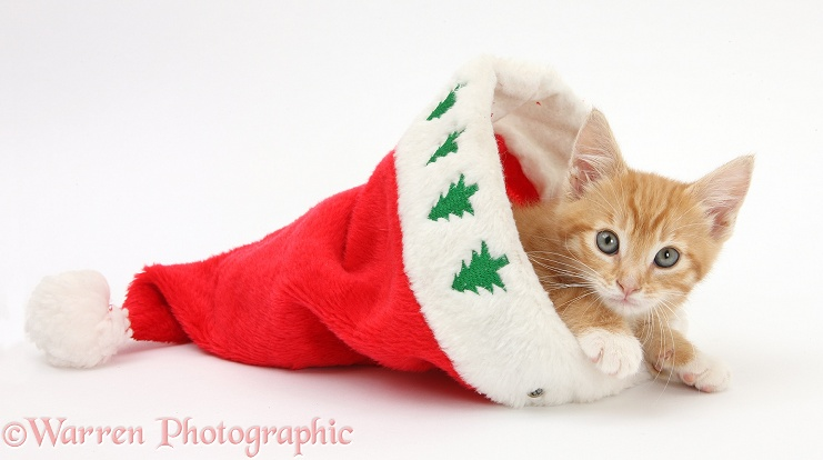 Ginger kitten, Tom, 8 weeks old, in a Father Christmas hat, white background