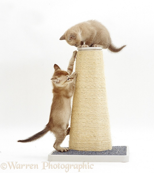 Burmese-cross kittens playing on a scratch post, white background