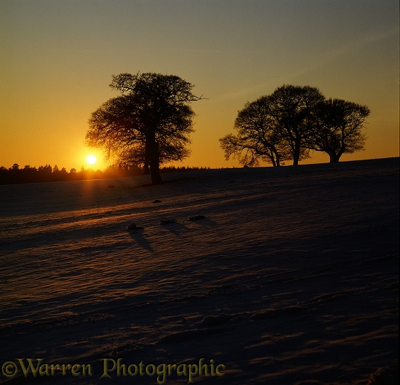 Sunset over snowy field and silhouette oak trees