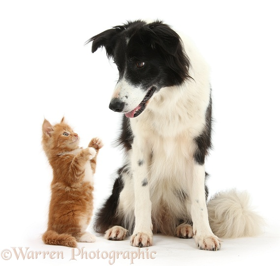 Black-and-white Border Collie, Phoebe, and ginger kitten, Butch, white background