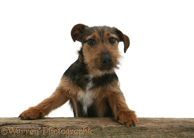 Black-and-tan Jack Russell Terrier dog with paws up, looking over a rail, white background